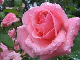 Bonitas Tarjetas Con Flores Rosa