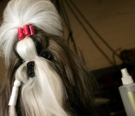 Champion+Purebreds+Compete+Westminster+Dog+rKbmLXUosYpl