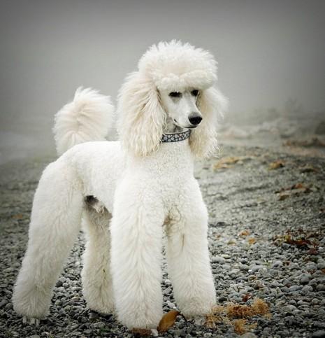 razas-de-perros-french-poodle