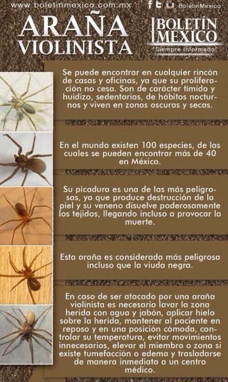 infografia_arana_violinista