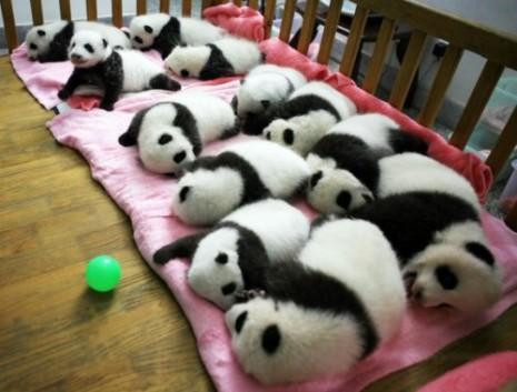 Osos-pandas-bebes-e1340142384585