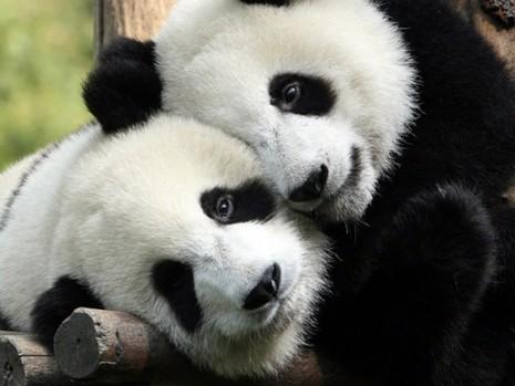 34 Mejores Imagenes De Osos Panda Tiernos Y Adorables Para Descargar