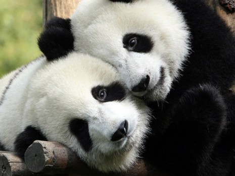 familia-de-osos-panda-llenos-de-amor-276