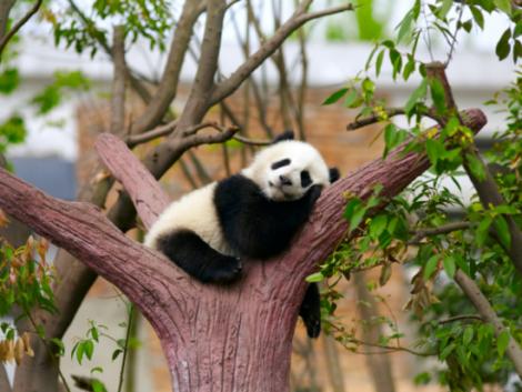 panda-arbol