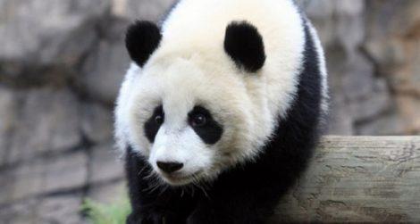 pandaCuriosidades-sobre-los-osos-panda