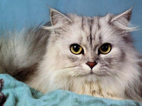 persacortarle-el-pelo-al-gato1