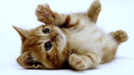 Por-qué-los-gatos-ronronean