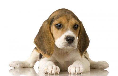 los-perros-beagle_hrgkj